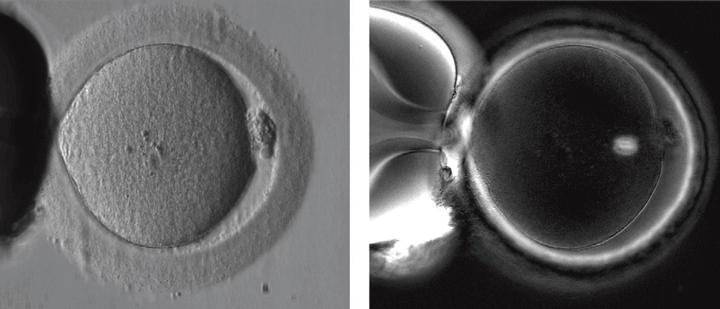 Пример отображения внутриклеточной структуры живой яйеклетки